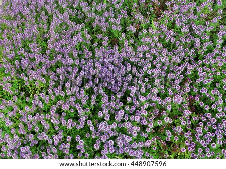 Fragment of a summer garden meadow with the blossoming plant spice the Thyme (Oregano). Top view closeup image