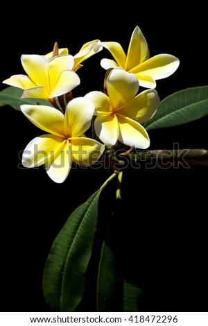 Fragrant beautiful plumeria flowers used in spas are blossoming on the tree in Bonita Springs Florida in the spring time. - stock photo