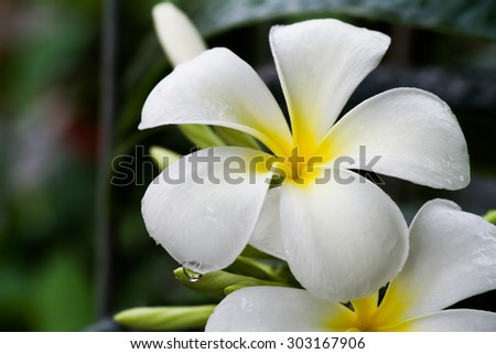 fragrant flowering tropical tree of a genus that includes frangipani