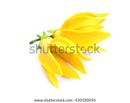 fragrant flowers of climbing ylang-ylang, climbing ilang-ilang, manorangini, hara-champa or kantali champa - stock photo