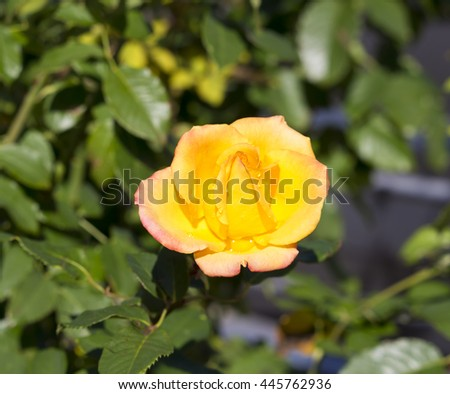 Fragrant romantic beautiful yellow  rose blooming in early  winter after  a shower of rain  adds fragrance and beauty to the drab  garden landscape. - stock photo