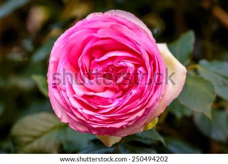 Fragrant Rose in Full Blossom. Washington Park Rose Garden, Portland, Oregon - stock photo