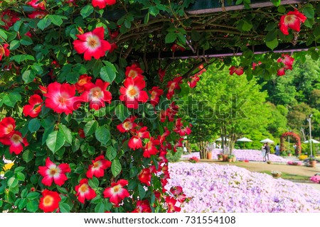 Fragrant Sweet Briar Rose Planted Garden Stock Photo (Royalty Free ...