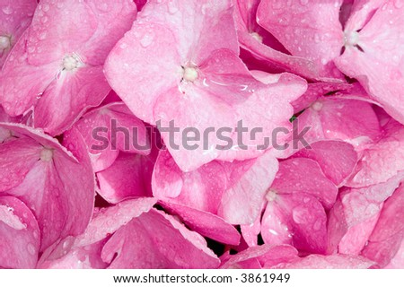 Frame filled with wet pink Hydrangia petals