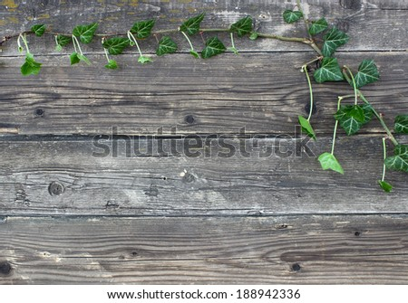 frame - green ivy on old wooden boards - stock photo