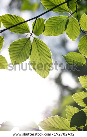 Frame of beech leaves with strong white light in the bottom left corner of the photo.