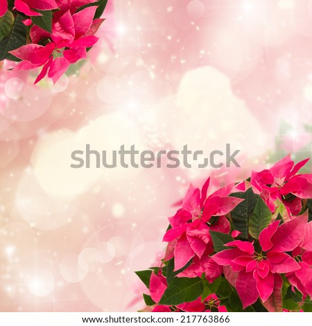 frame of pink poinsettia flower or christmas star  on pink bokeh  background  - stock photo