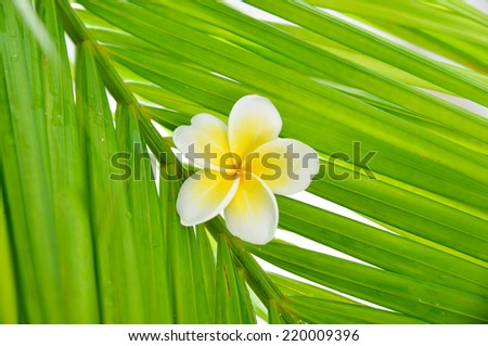 frangipani and palm leaf texture - stock photo