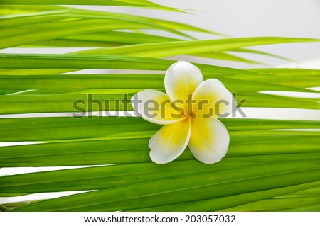 frangipani and wet palm leaf  - stock photo