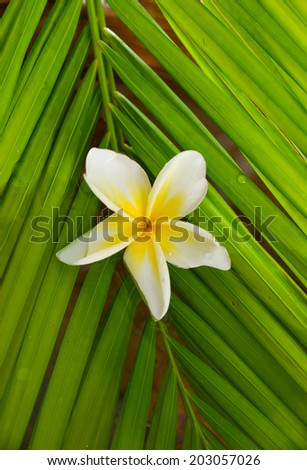 frangipani and wet palm leaf texture - stock photo