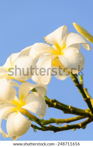 Frangipani Flower and blue - stock photo