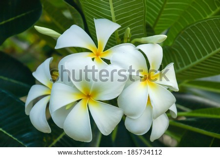 frangipani flower in the morning.