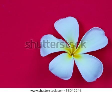 Frangipani flower isolated on red background - stock photo