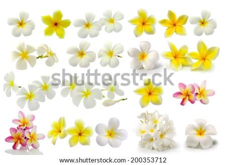 Frangipani flower isolated on white background - stock photo