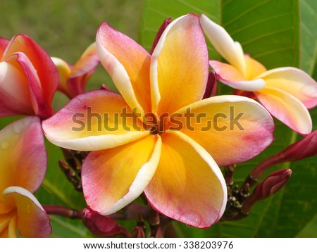 frangipani flower on the tree.