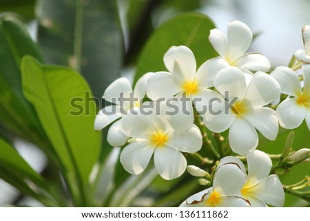 Frangipani flowers - stock photo