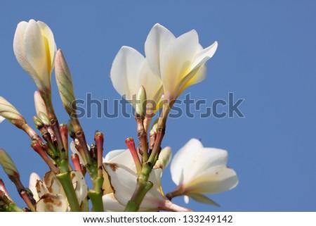 Frangipani flowers and blue sky - stock photo
