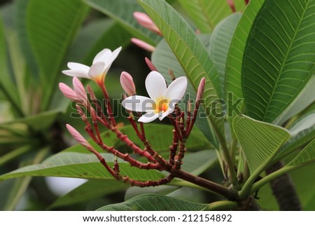 Frangipani flowers and buds,white and yellow Frangipani flowers blooming in the garden   - stock photo