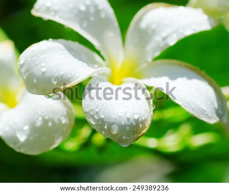 Frangipani flowers covered by water drops. - stock photo