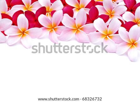 Frangipani flowers for design - stock photo