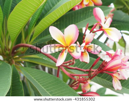 frangipani flowers, Frangipani, Pagoda tree  on natural light background