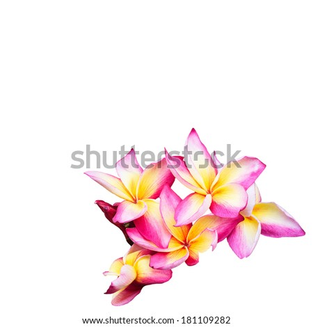 frangipani flowers isolated on the background white - stock photo