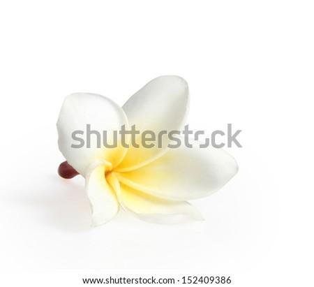 frangipani flowers isolated on the white white  - stock photo