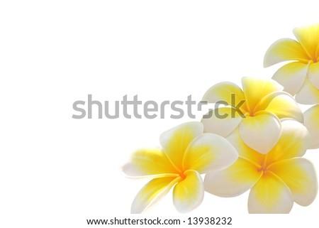 Frangipani flowers isolated on white - stock photo