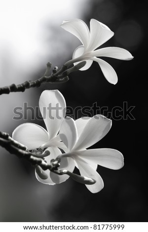 Frangipani flowers on a tree in the garde - stock photo