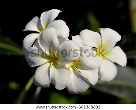 Frangipani flowers on a tree in the garden