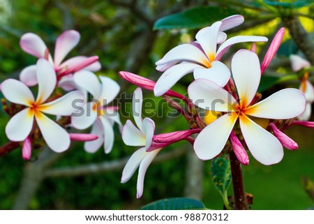 Frangipani flowers on a tree in the garden - stock photo