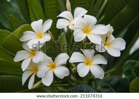 frangipani flowers, plumeria flowers blooming - stock photo