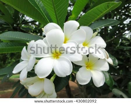 Frangipani flowers/white and yellow plumeria frangipani flowers with leaves/Plumeria Blooming white and Yellow - stock photo