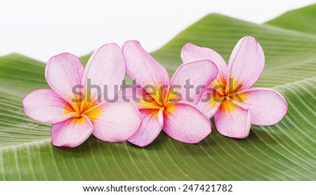 Frangipani or Plumeria flower on banana leaf background.   - stock photo