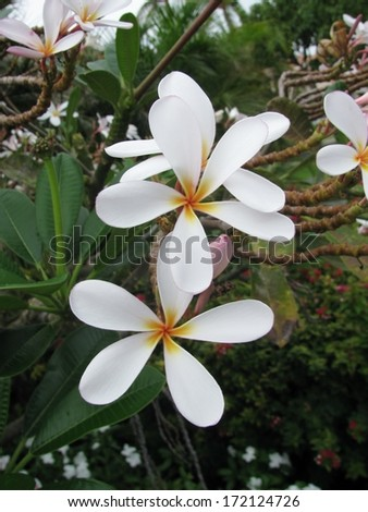 Frangipani (Plumeria Rubra) flowers - stock photo