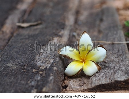 Frangipani, Plumeria, Templetree exotic aroma smell BALI style spa flowers falling on the floor on a sunny day with natural bokeh background in THAILAND - stock photo