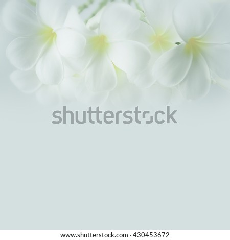 frangipani (plumeria), white flowers in soft color and blur style for background