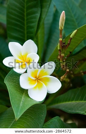 frangipani tropical flowers, green lefs, nature series - stock photo