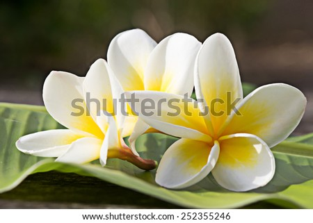 Frangipani tropical flowers, Plumeria flowers fresh  - stock photo