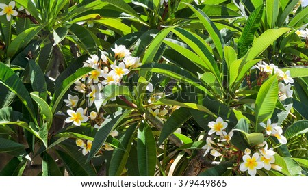 Frangipani tropical plant delicate white yellow stock photo royalty frangipani tropical plant with delicate white and yellow flowers and large bright green leavesfrangipani mightylinksfo