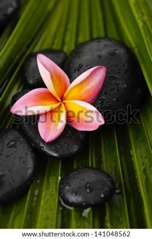 frangipani with wet spa stones on wet palm leaf - stock photo
