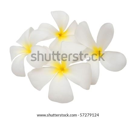 Frangipanis blossoming - stock photo