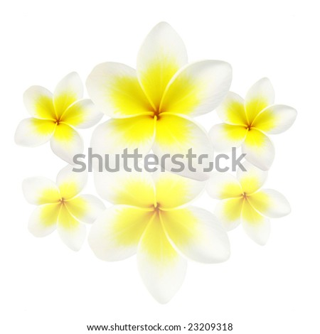 frangipanis with there reflection over a white background. - stock photo