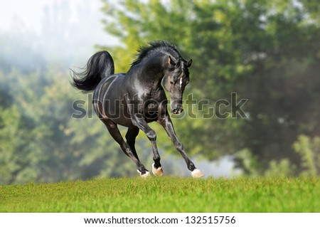 free arab horse in field - stock photo