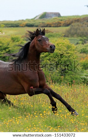 Free arabian horse playing - stock photo
