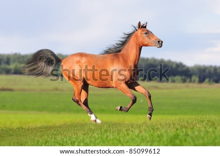 free bay arabian colt - stock photo