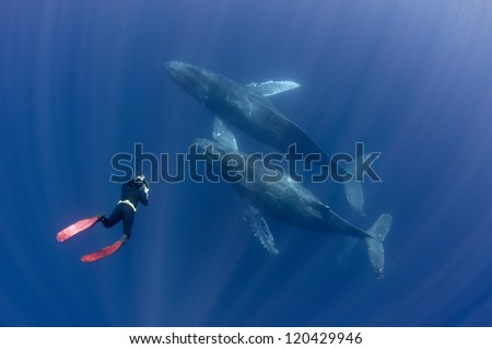 Free diver interacting with humpback whales off Mexico's Baja peninsula - stock photo