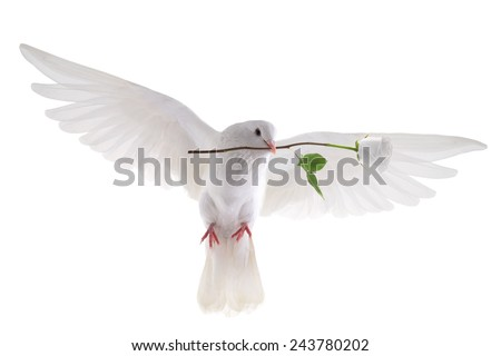 free flying white pigeon in a beak with a rose is isolated on a white background - stock photo