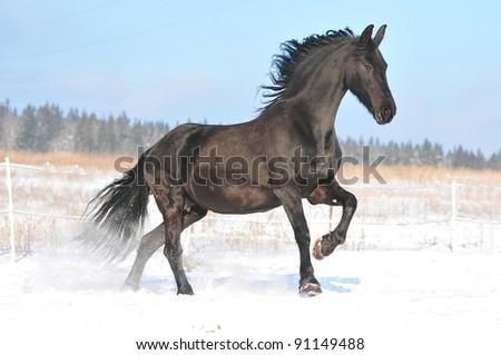 free friesian horse - stock photo