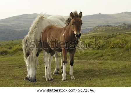 Free-living pony with foal - stock photo